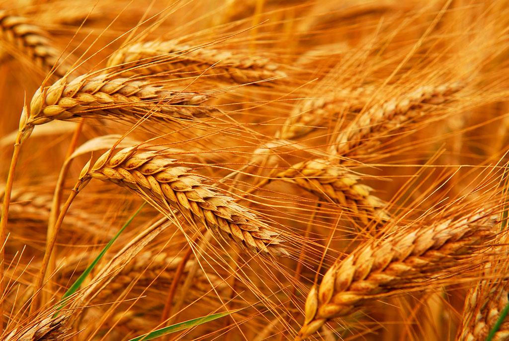 粮食供应有保障 谷物自给率保持在95%以上