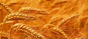 糧食供應有保障 谷物自給率保持在95%以上
